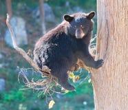 Schwarzes Bärenjunges, das in einem Baum sitzt und die Kamera betrachtet Lizenzfreie Stockfotografie