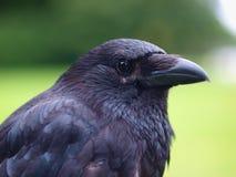 Schwarzes Carrion Crow-Porträt Stockbild