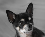 Schwarzes Chihuahuaporträt Stockfoto