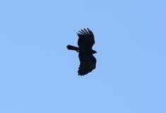 Schwarzes Eagle (Ictinaetus-malayensis) Stockbild
