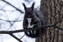 Schwarzes Eichhörnchen stockfotos