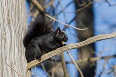 Schwarzes Eichhörnchen Stockbild