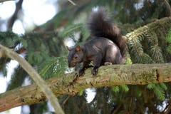 Schwarzes Eichhörnchen stockfotografie