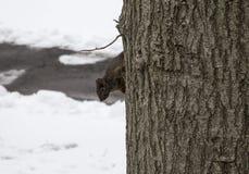 Schwarzes Eichhörnchen auf Baum in Bronx NY im Winter stockbilder