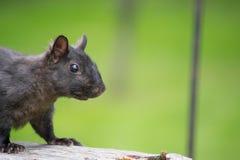 Schwarzes Eichhörnchen auf Zaun Stockbilder