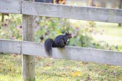 Schwarzes Eichhörnchen auf Zaun Stockfoto