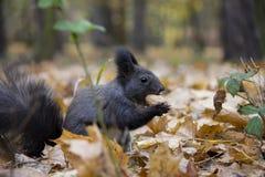 Schwarzes Eichh?rnchen mit einer Nuss im Herbstlaub lizenzfreie stockfotografie