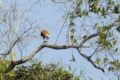 Schwarzes ergatterter Falke mit Opfer oben im Baum Stockbilder