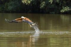 Schwarzes ergatterter Hawk Fishing im Fluss Stockbilder