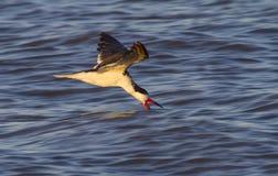 Schwarzes Fischen des Abstreicheisens (Rynchops Niger) im Ozean bei Sonnenuntergang lizenzfreie stockfotos