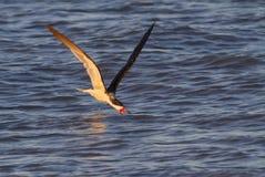Schwarzes Fischen des Abstreicheisens (Rynchops Niger) im Ozean bei Sonnenuntergang Lizenzfreie Stockfotografie