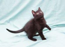 Schwarzes flaumiges Kätzchen mit den grünen stehenden Augen, anhebender Fuß Stockbilder