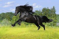 Schwarzes friesisches Pferd auf der Wiese Stockfotos