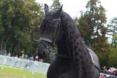 Schwarzes friesisches Pferd auf Reitershow, Hauptgesichtsdetail Stockbild