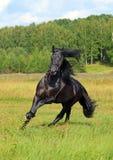 Schwarzes friesisches Pferd in der Sommerwiese lizenzfreies stockbild