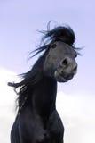 Schwarzes friesisches Pferd rüttelt seine Mähne Stockbilder