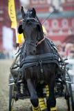 Schwarzes friesisches Pferdewagenfahren Stockbilder