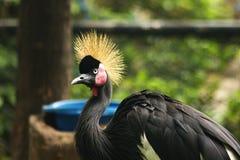 Schwarzes gekrönter Kran im Zoo stockbild