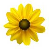 Schwarzes gemusterte Blume Susan-(Rudbeckia Hirta) Stockbild