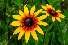 Schwarzes gemusterte Susan-Blume auf Sommer stockbilder