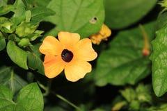 Schwarzes gemusterte Susan Vine Flower in voller Blüte Stockbild