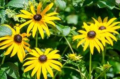 Schwarzes gemusterte susans (Blumen) Lizenzfreies Stockfoto