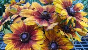 Schwarzes gemusterte Susans-Wildflowers Stockfotografie