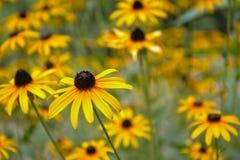 Schwarzes gemustertes Susa u. x28; Rudbeckia hirta& x29; Blumen stockfoto