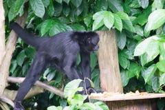 Schwarzes Gibbons beim Suchen nach Lebensmittel in einem Wald Lizenzfreies Stockbild