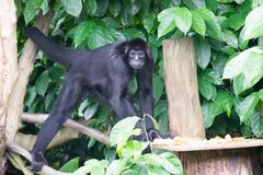 Schwarzes Gibbons beim Suchen nach Lebensmittel in einem Wald Stockbild