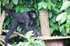 Schwarzes Gibbons beim Suchen nach Lebensmittel in einem Wald Stockfotos