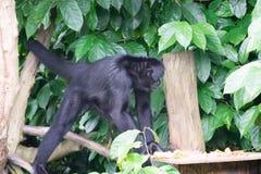 Schwarzes Gibbons beim Suchen nach Lebensmittel in einem Wald Lizenzfreies Stockfoto