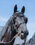 Schwarzes großes Pferd Lizenzfreie Stockbilder