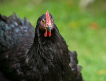 Schwarzes Huhn auf einem Bauernhof Lizenzfreies Stockbild