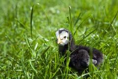 Schwarzes Huhn des Schätzchens Lizenzfreie Stockfotografie