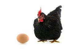 Schwarzes Huhn mit Ei auf weißem Hintergrund Lizenzfreies Stockfoto