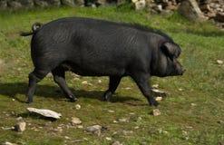 Schwarzes iberisches Schwein Stockfotos