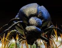 Schwarzes Insekt auf einem Kaktus in den Färöern Stockbilder