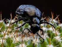Schwarzes Insekt auf einem Kaktus in den Färöern Lizenzfreie Stockfotografie