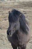 Schwarzes isländisches Pferd stockfoto