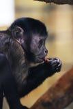 Schwarzes junges mokey Foto-Tierporträt Lizenzfreies Stockfoto