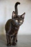 Schwarzes Kätzchen auf Grey Background Lizenzfreies Stockfoto