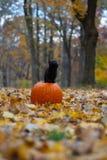 Schwarzes Kätzchen, das auf pumplin im Wald sitzt lizenzfreie stockbilder