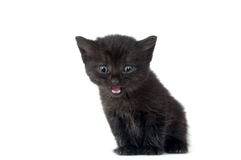 Schwarzes Kätzchen, das auf weißem Hintergrund schreit Stockfotografie