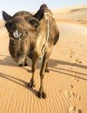 Schwarzes Kamel im Unebenheit ` Al Khali Desert Stockfoto