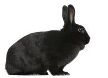 Schwarzes Kaninchen, 1 Einjahres, sitzend Stockfotos
