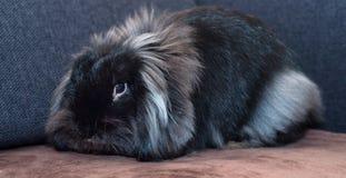 Schwarzes Kaninchen Stockfotografie