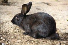 Schwarzes Kaninchen Stockfotos