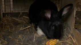 Schwarzes Kaninchen, das einen Mais isst stock video