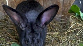 Schwarzes Kaninchen isst Heu in einem K?fig stock footage